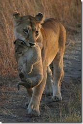 lioncubcropped